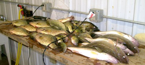 Crappie and walleye catch